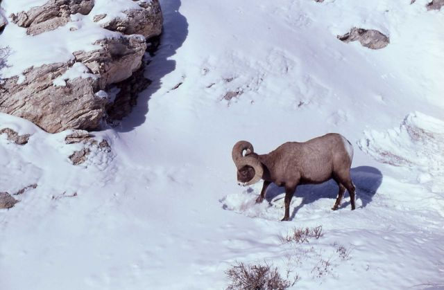 Distant view of Bighorn Sheep ram in snow Picture