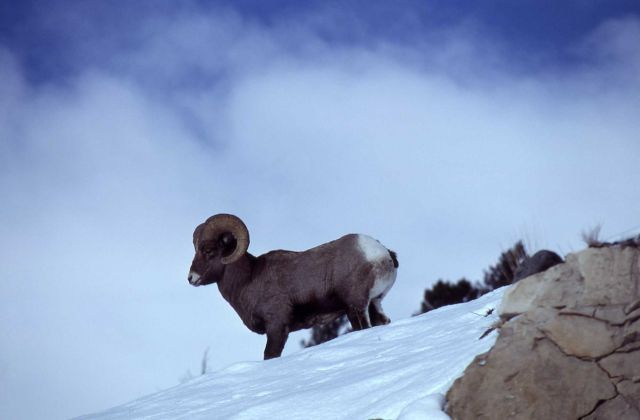 Bighorn Sheep ram in snow on ridge Picture