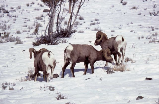 Three Bighorn Sheep rams grazing in snow Picture