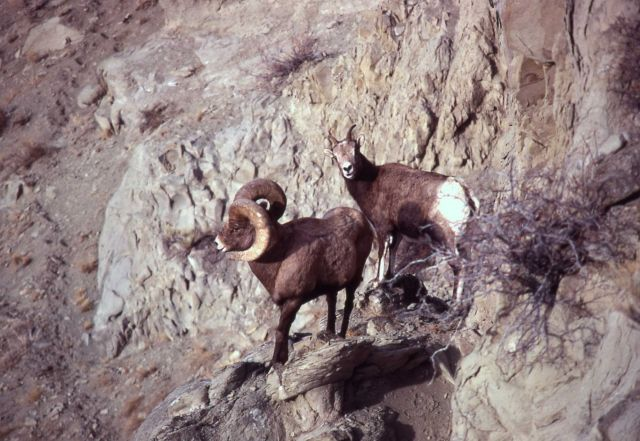Bighorn Sheep ram & ewe on rock Picture