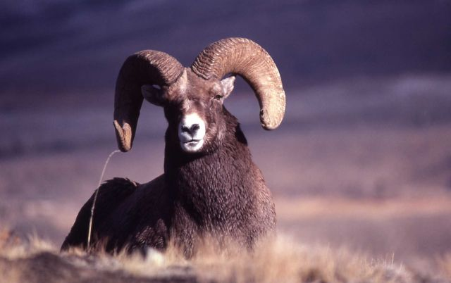Bighorn Sheep ram sitting Picture