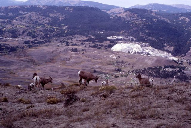 Bighorn Sheep on Mt Everts with Mammoth Hot Springs in the background Picture