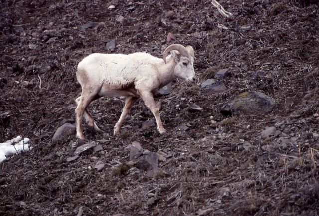 Bighorn Sheep white ewe near confluence of Lamar River & Soda Butte Creek Picture