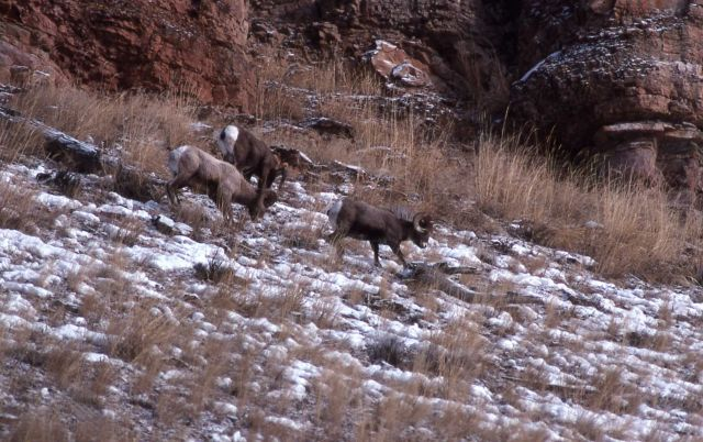 Bighorn Sheep in snow on slope of Druid Peak Picture