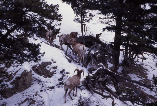 Bighorn Sheep rams in snow in Gardner canyon Picture