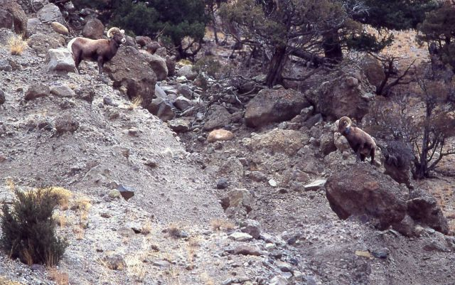 Bighorn Sheep rams in Gardner canyon Picture