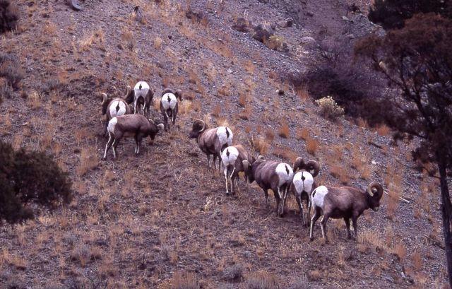Bighorn Sheep rams in Gardner canyon Picture