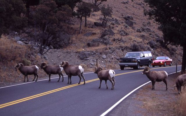 Bighorn Sheep rams with traffic in Gardner canyon Picture