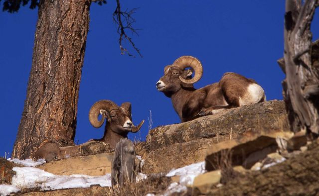 Two Bighorn Sheep rams at Lamar River & Soda Butte confluence Picture