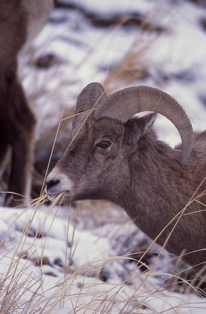 Bighorn Sheep ram in Lamar Valley Picture
