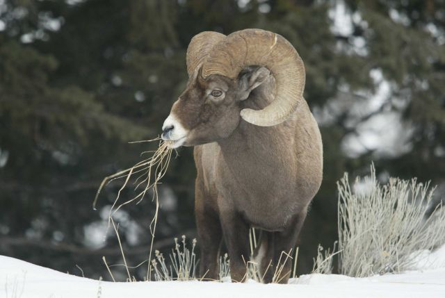 Bighorn Sheep ram in winter with grass in its mouth, above Yellowstone River near Tower Picture