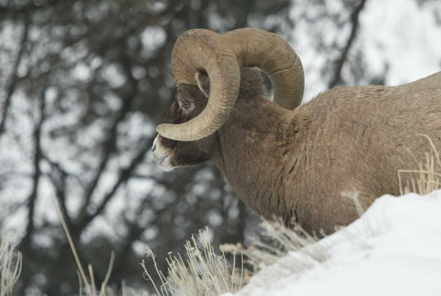 Side view of Bighorn Sheep ram standing in snow above Yellowstone River near Tower Picture