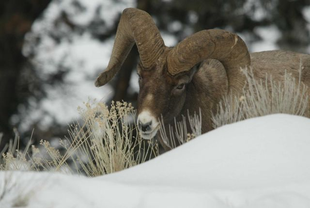 Bighorn Sheep ram eating in snow above Yellowstone River near Tower Picture