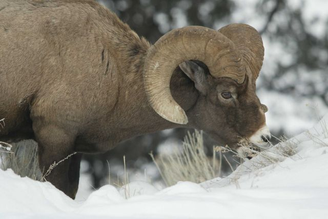Bighorn Sheep ram eating Rabbit Brush in snow above Yellowstone River near Tower Picture