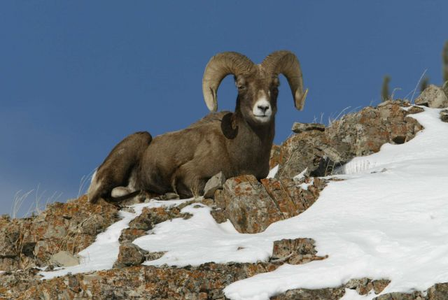 Bighorn Sheep ram sitting on ridge, with snow, above Soda Butte Creek Picture