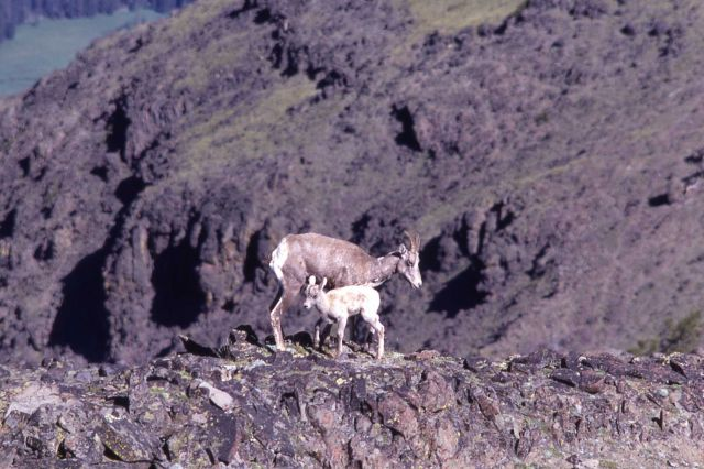 Bighorn Sheep ewe and lamb Picture
