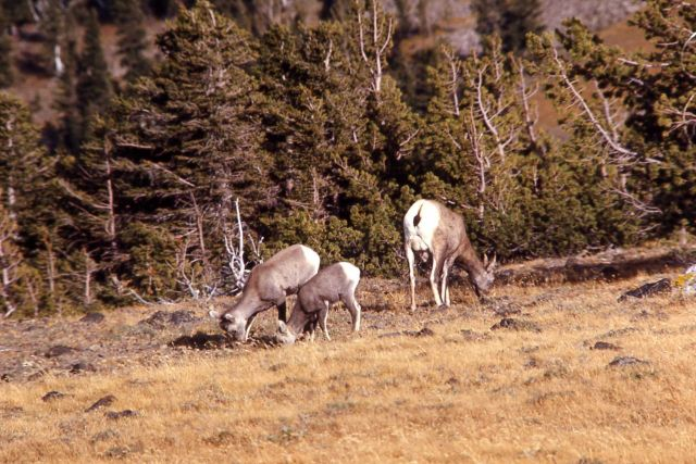 Bighorn Sheep ewe and lambs on Mt Washburn Picture