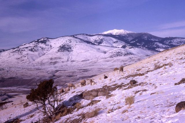 Bighorn Sheep on Mt Everts in winter Picture