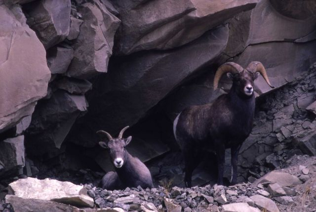 Bighorn Sheep in Gardner Canyon Picture