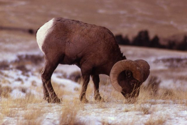 Bighorn Sheep eating Picture
