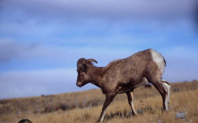 Young Bighorn Sheep ram Picture