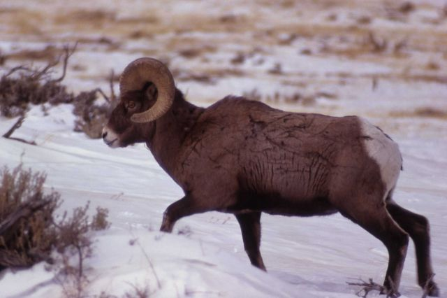 Bighorn Sheep in winter Picture