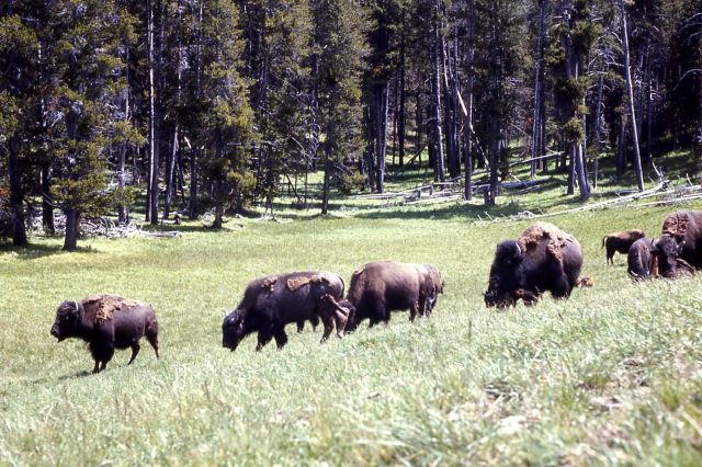 Bison in Hayden Valley Picture
