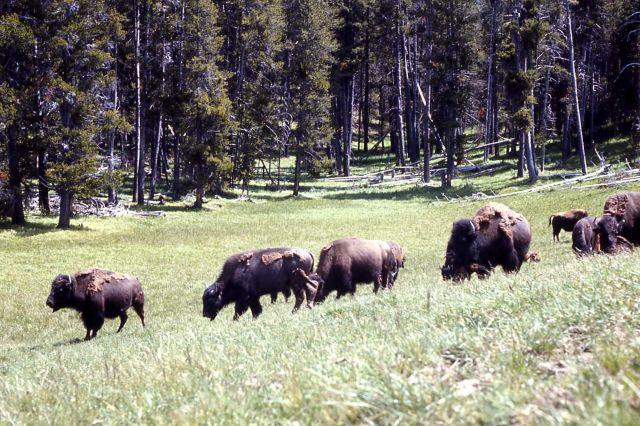 Bison in Hayden Valley Picture