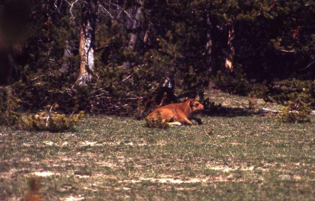Bison calf Picture
