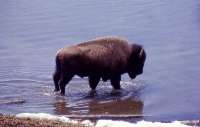 Bison in Squaw Lake Picture