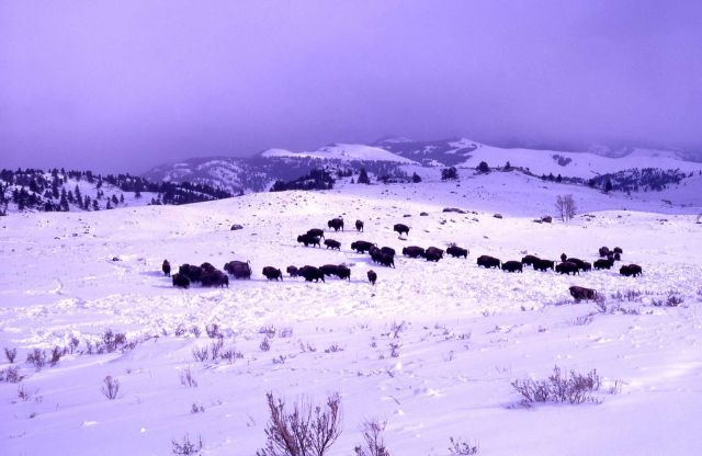 Bison near Junction Butte in snow Picture