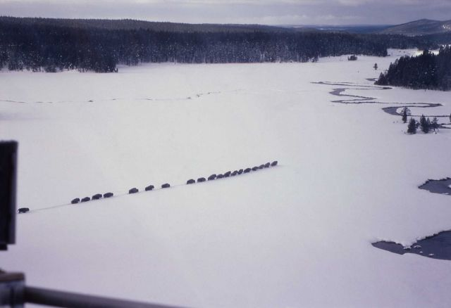 Bison drive at Nez Perce Creek in snow Picture
