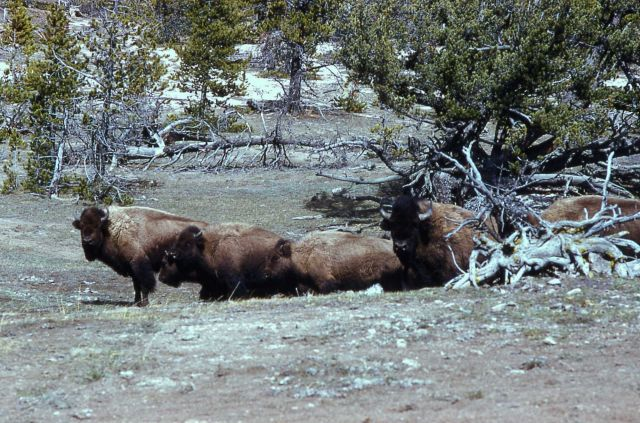 Bison at Firehole loop Picture