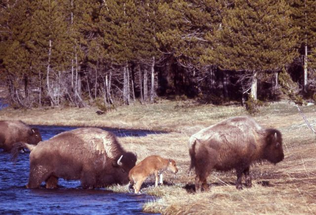 Bison with calf crossing stream Picture