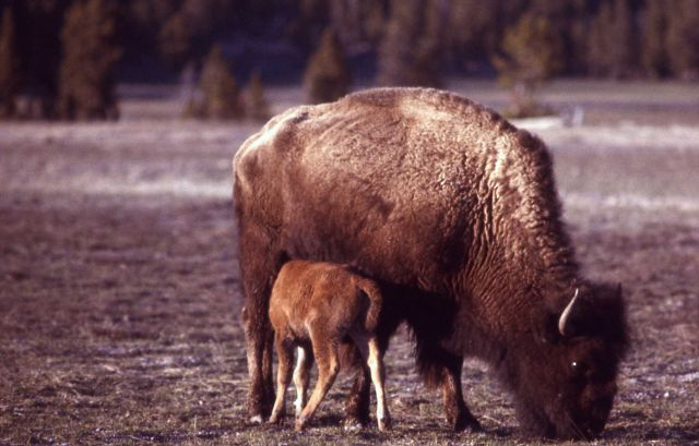 Bison with nursing calf Picture