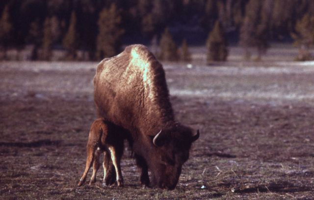 Bison with calf nursing Picture