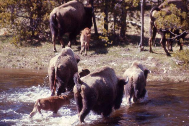Bison & calf crossing Nez Perce Creek Picture