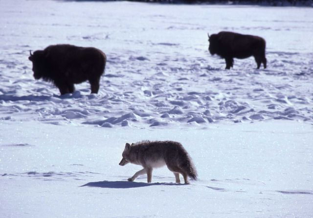 Bison & coyote Picture