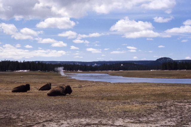 Bison near Firehole River Picture