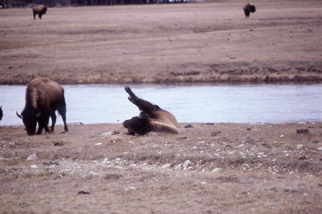 Bison dusting Picture