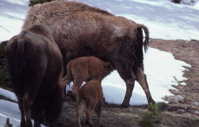 Bison & calves, one calf nursing Picture