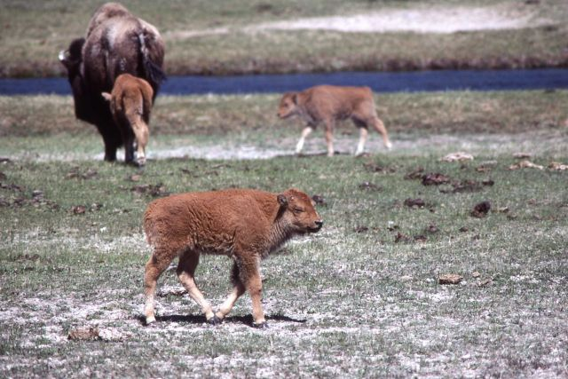 Bison calves Picture
