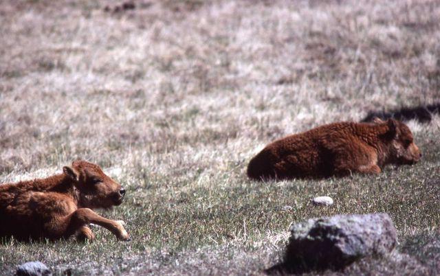 Bison calves Picture