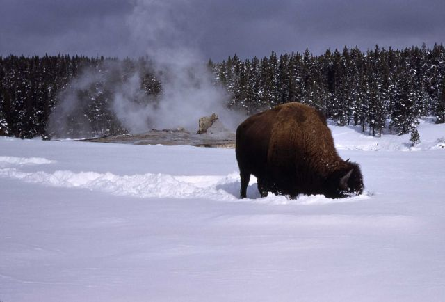 Bison in winter near Giant Geyser Picture