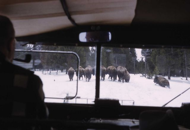 Bison on road in winter (as seen from inside snowcat) Picture