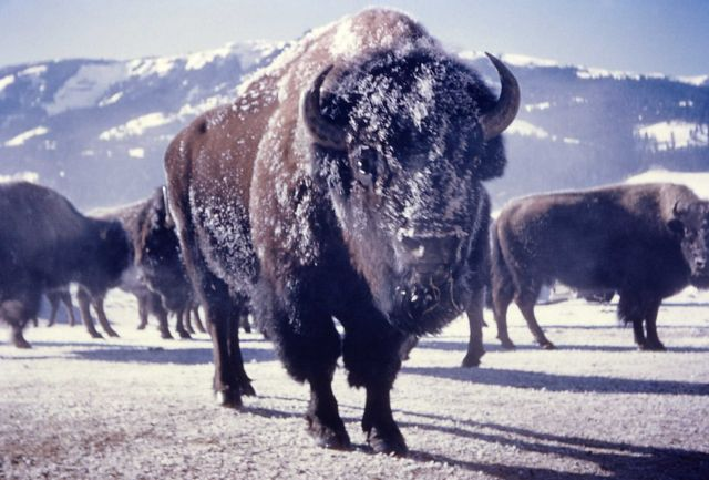 Bison with face covered with snow Picture