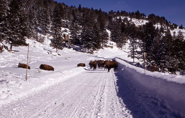 Bison trapped on plowed road Picture