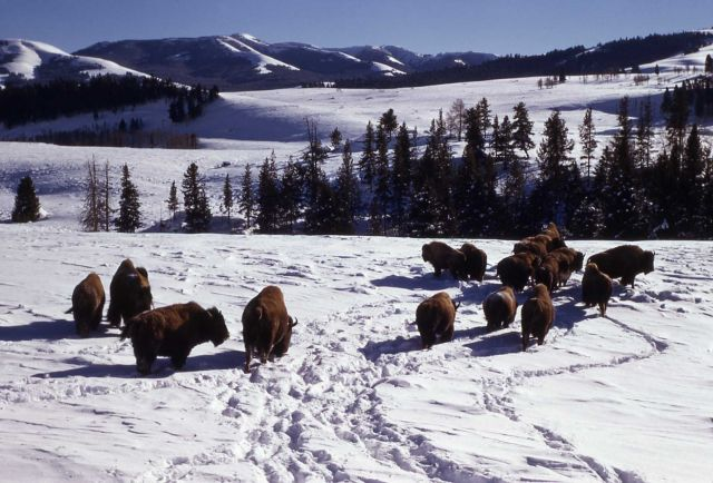 Bison in winter in Lamar Valley Picture