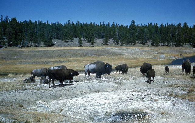 Bison near Pocket Basin Picture