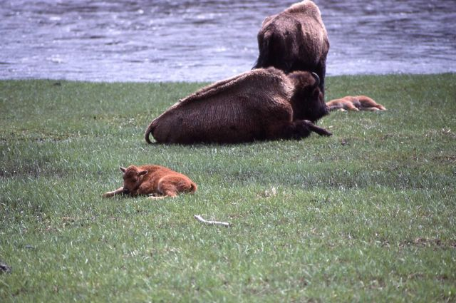 Bison & calves at Madison river Picture